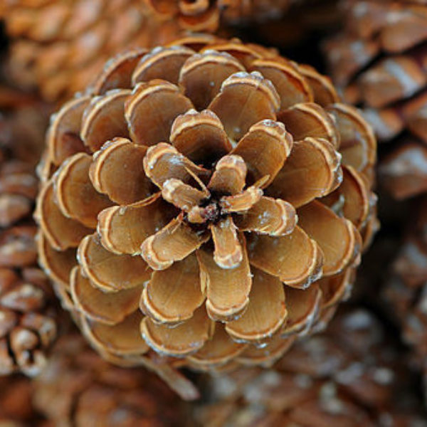 Christmas Crafts: Pine Cones